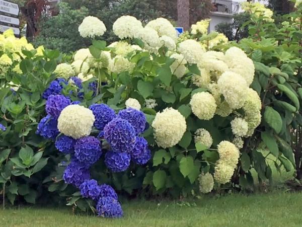 Hydrangea arborescens 'Annabell'