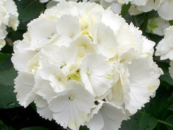 Hydrangea macrophylla Schneeball®