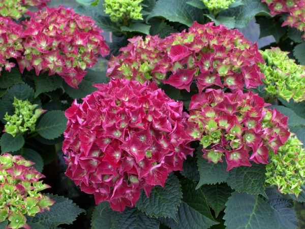 Hortensie Royal Red®