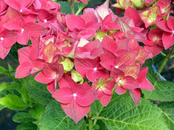 Hydrangea macrophylla Green Shadow®