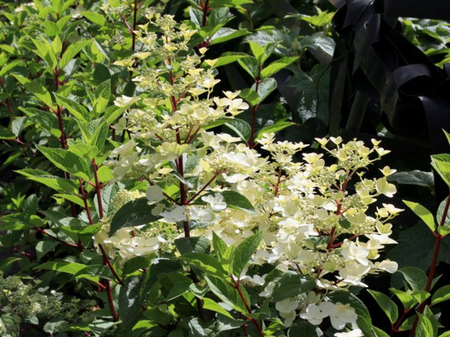 hortensie hydrangea paniculata 39 wim 39 s red 39 hortensientr ume. Black Bedroom Furniture Sets. Home Design Ideas