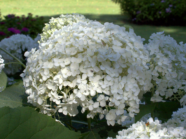 hortensie hydrangea arborescens 39 grandiflora. Black Bedroom Furniture Sets. Home Design Ideas