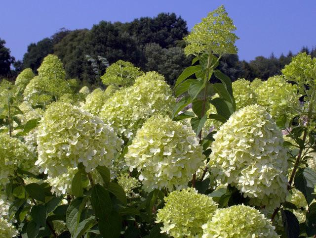 Lieblings Hortensien richtig überwintern | Hortensienträume @FG_98