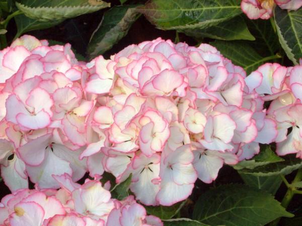 Hydrangea macrophylla Chique®