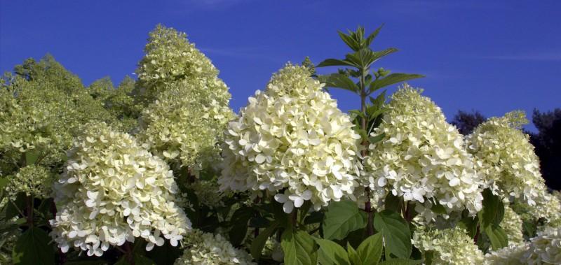 Berühmt Hortensien düngen mit Toolisan® Hortensiendünger | Hortensienträume XQ48