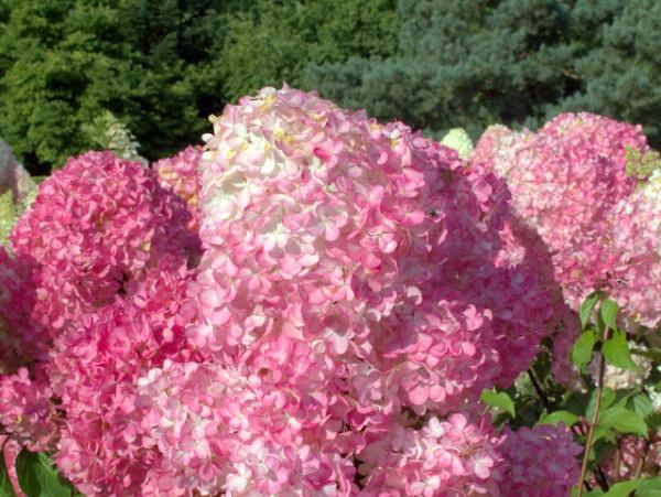 hortensie rispenhortensie 39 vanille fraise 39 kaufen hortensientr ume