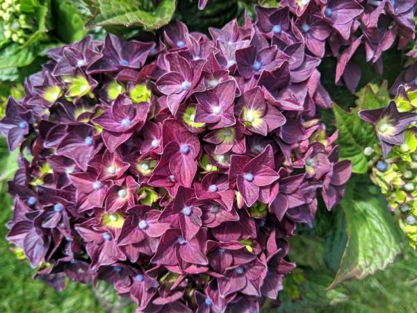 Hortensie Deep Purple Dance