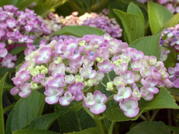Hydrangea macrophylla 'Ayesha'1