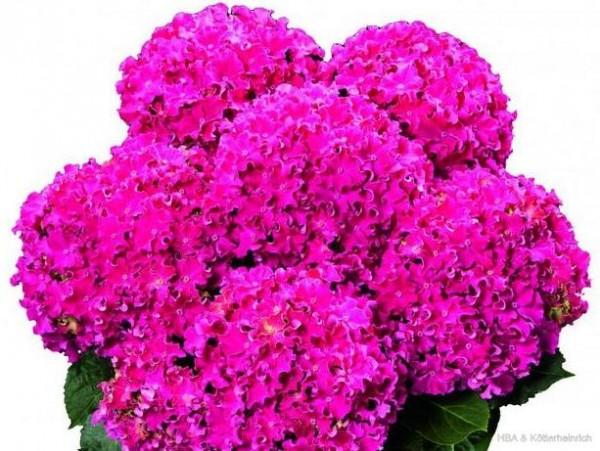 Hydrangea macrophylla Curly® Sparkle Pink