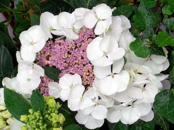 Hydrangea macrophylla Libelle®
