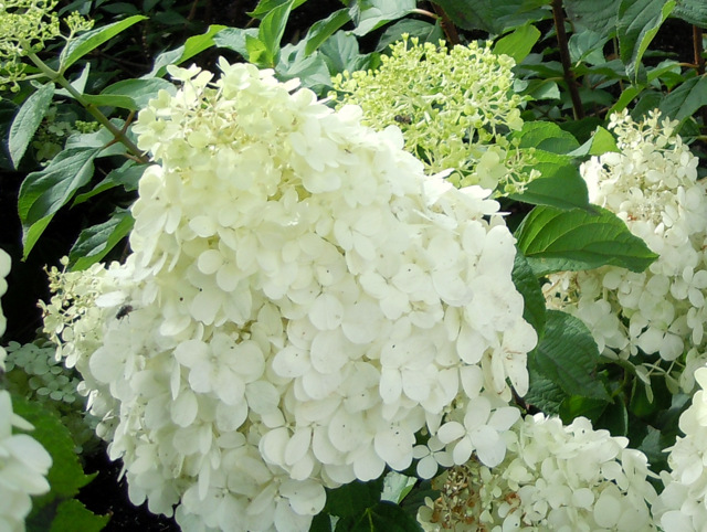hortensie hydrangea paniculata 39 polar bear 39 hortensientr ume. Black Bedroom Furniture Sets. Home Design Ideas